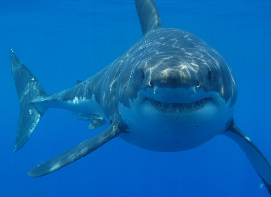shark-australia